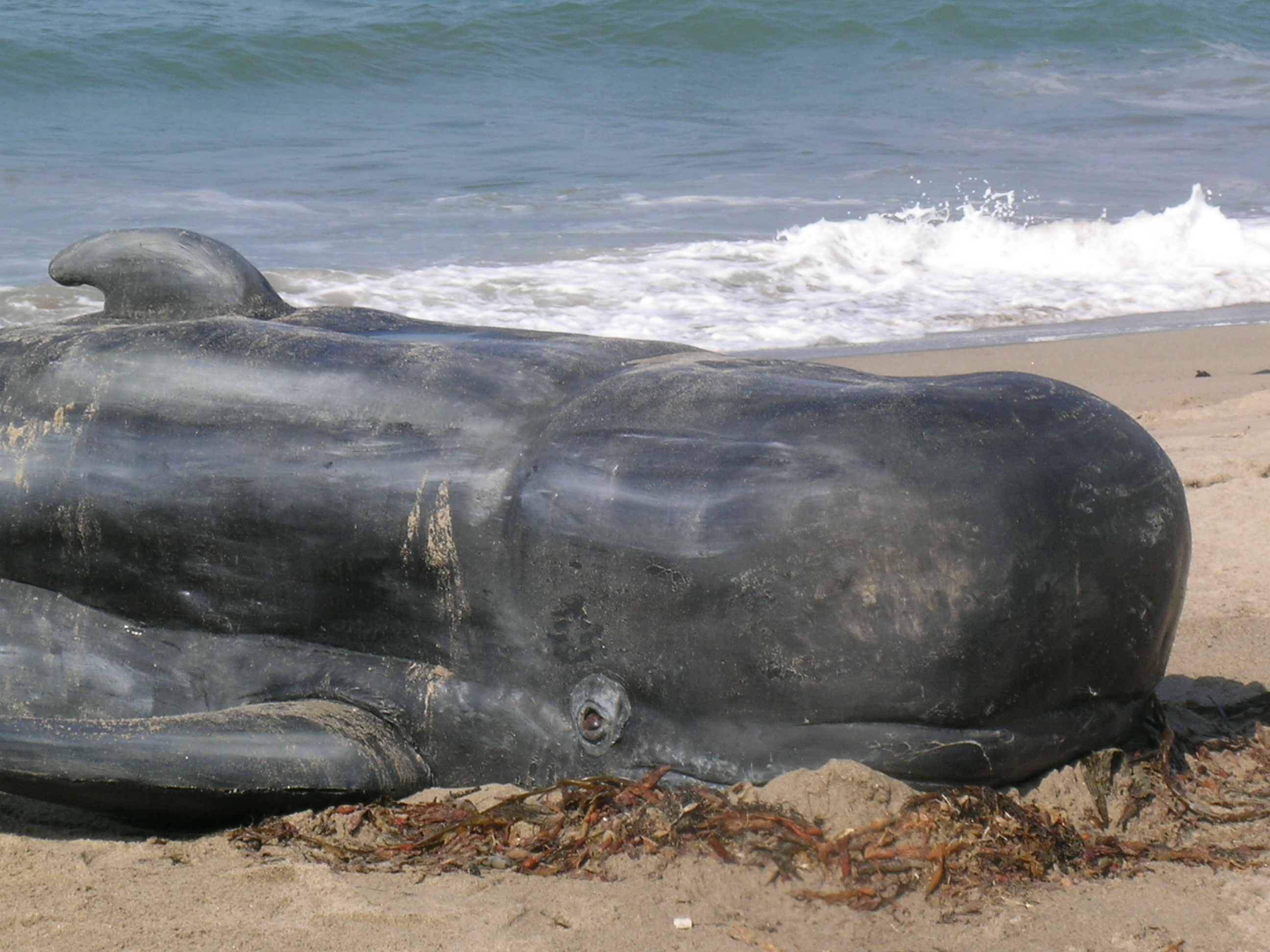 Beached Whales In Washington State