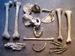 12 assorted natural finish bones 3 15.sized