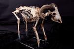 goat skeleton prop 9172