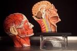 4D Anatomical Model Muscle Head 28 b