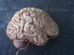 lifesize brain 55