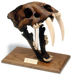 Prehistoric Skull Props - Sabre Tooth Tiger Skull $100