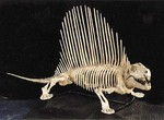 Dimetrodon BYU 45394.JPG