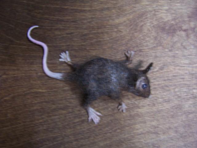 fur mouse light brown 63.JPG