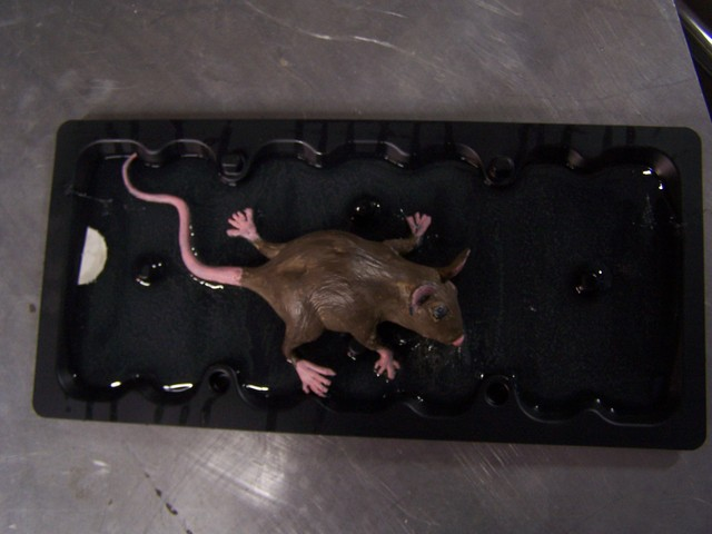 glue trap mice 7.JPG