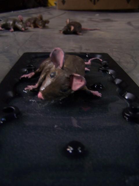 glue trap mice  89.JPG