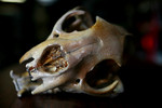 antique_cougar_skull_61.sized.jpg