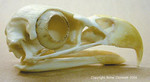 bald_eagle_skull_as5_100.jpg
