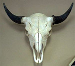 buffalo_skull_real_100_250.jpg
