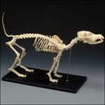 Animal Skeletons -