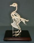 150 pigeon_skeleton.jpg