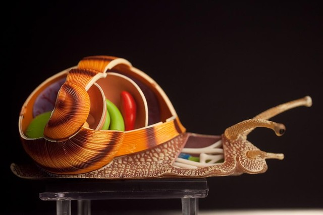 4D Anatomical Model Snail 20.jpg