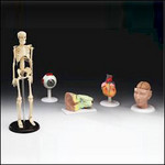 5 medical model assortment