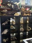 Animal Skulls 76.JPG