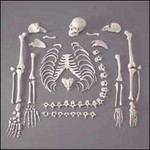 disarticulated_skeleton