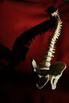 Chiropractic Spine Model