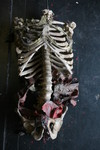 aged ribcage in tatters 26.JPG