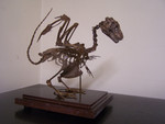 baby dragon skeleton  sized 9.jpg