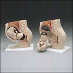 Baby in Womb Model