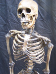 Antique seamless skeleton with  Feng skull 78