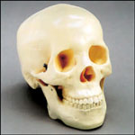Medical Quality 2 Part Skull