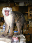 cappuchin  monkey prop (2).jpg