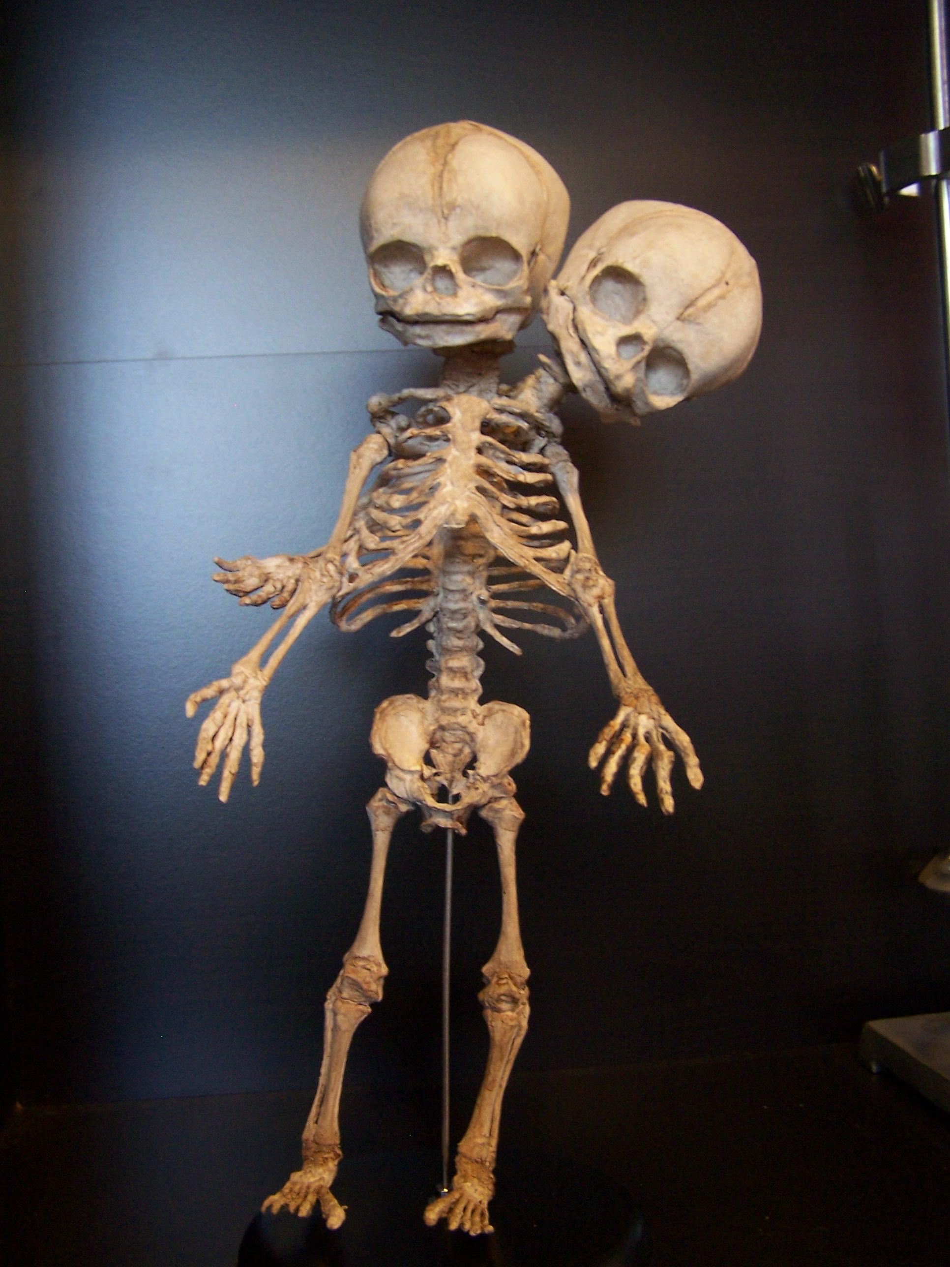Mutated skeletons - two headed prototype  33.JPG