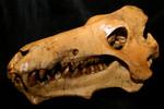 Archaeotherium-20.jpg