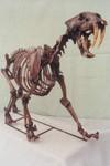 Sabertooth Tiger Skeleton