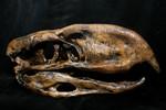 Phororhacos Bird Skull Replica -17.jpg