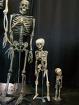 9 year old, 2 year old, and infant skeletons.JPG
