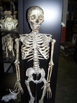 aged forensic Child Skeleton 11.JPG