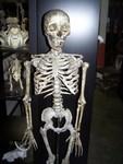 aged forensic Child Skeleton 11.JPG