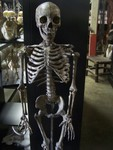 aged forensic Child Skeleton 12.JPG