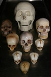 child and adult skulls 94.JPG
