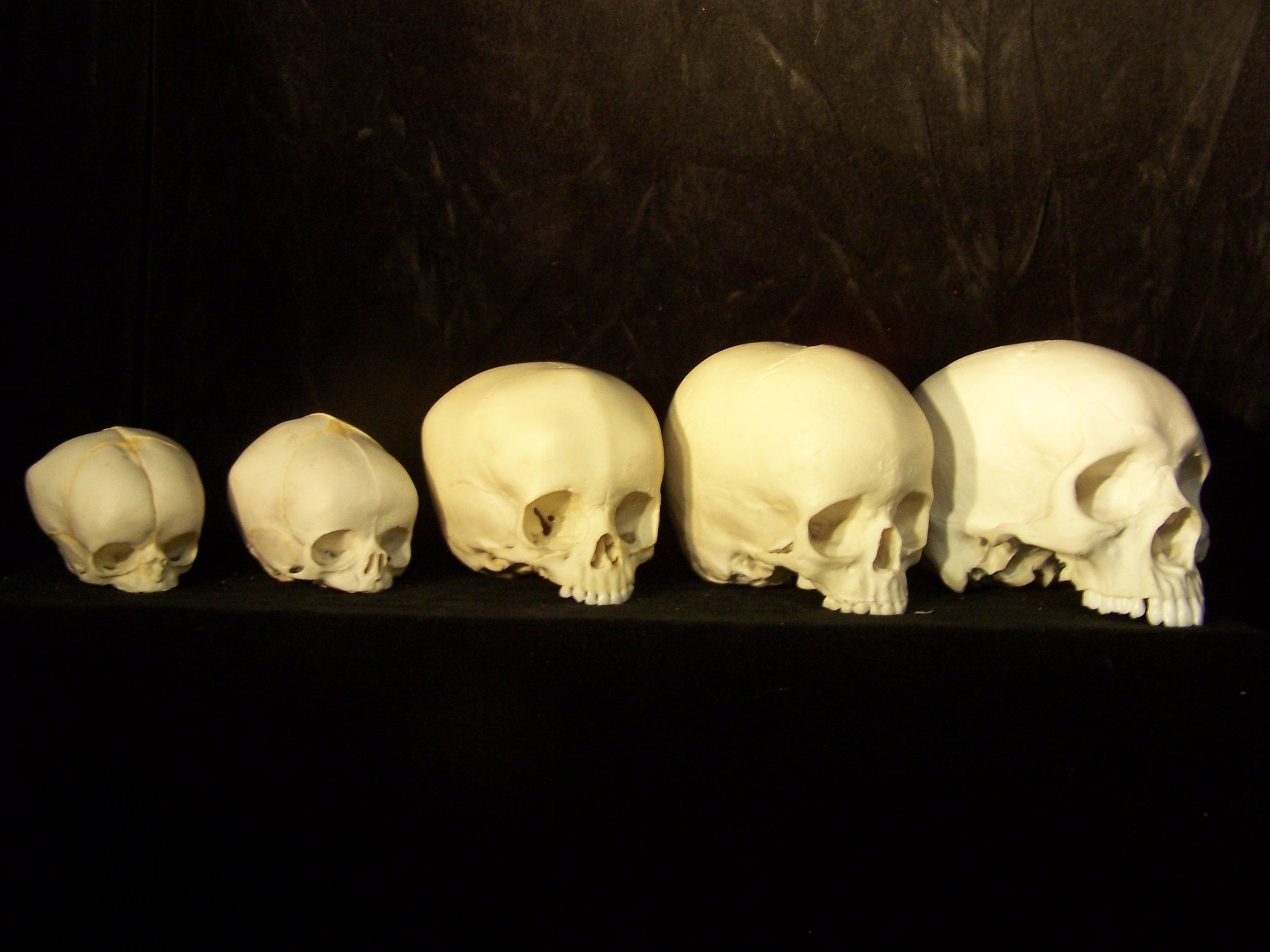 Fetal Skull Development Development of Man Skull Set