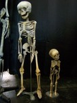 toddler and fetus skeletons