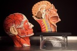 4D Anatomical Model Muscle Head 28 b.jpg