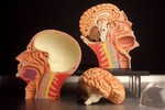 4D Anatomical Model Muscle Head 28 c.jpg