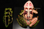 Animals -Visible Frog Anatomical Model 52.JPG