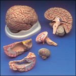 Heads and Brains - Anatomical Dissection Brain Prop