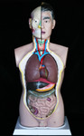 Torsos - life size anatomical torso 60