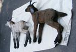 Lifelike Goats (2) 900