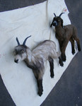 Lifelike Goats 900 each