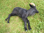 Goat and Sheep Props - lifelike goat $400.jpg