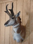 pronghorn taxidermy mount 300.jpg