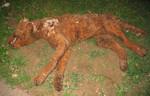 Dog props - dead dog Labrador