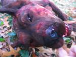 Dog Props - dead pit bull 45.jpg
