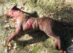 Dog Props - dead pit bull 72.jpg