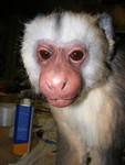 cappuchin  monkey prop 10.jpg